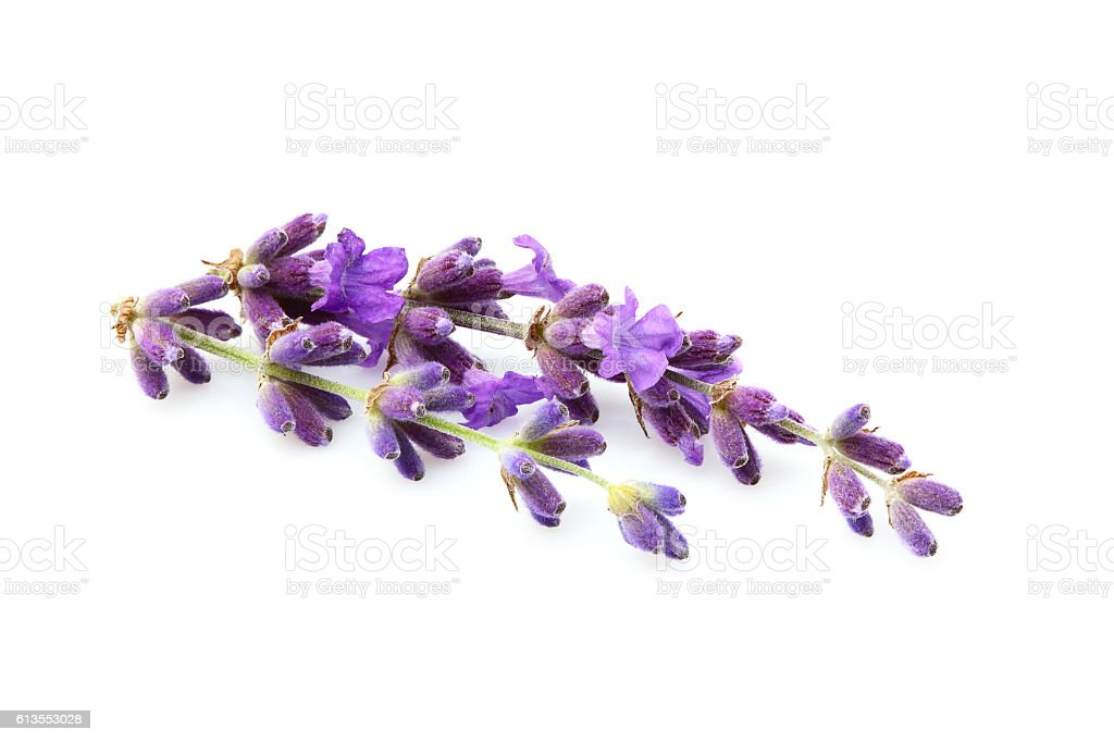 Lavender flowers isolated. stock photo