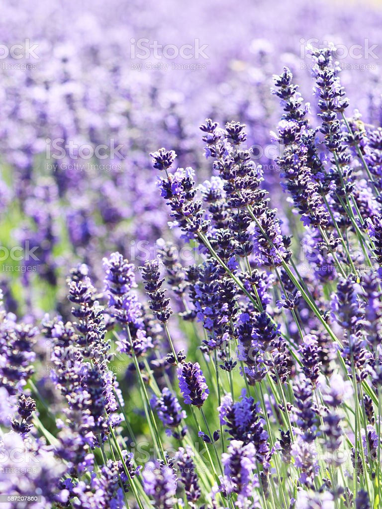 Lavender flowers nature background stock photo