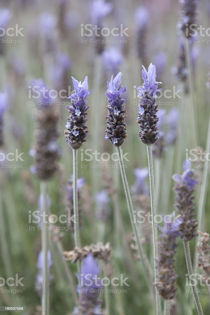 Lavendel flowers royalty-free stock photo