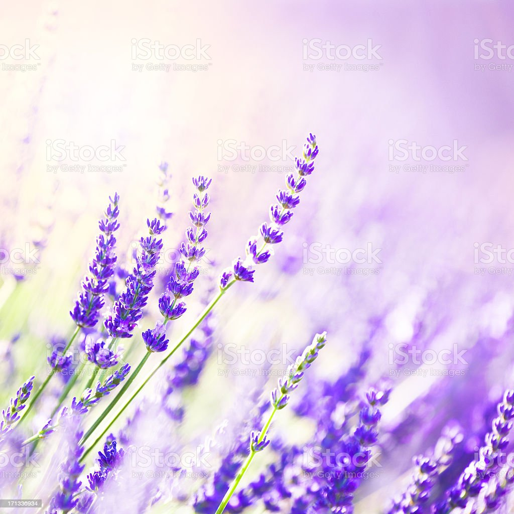 Lavender flowers stock photo