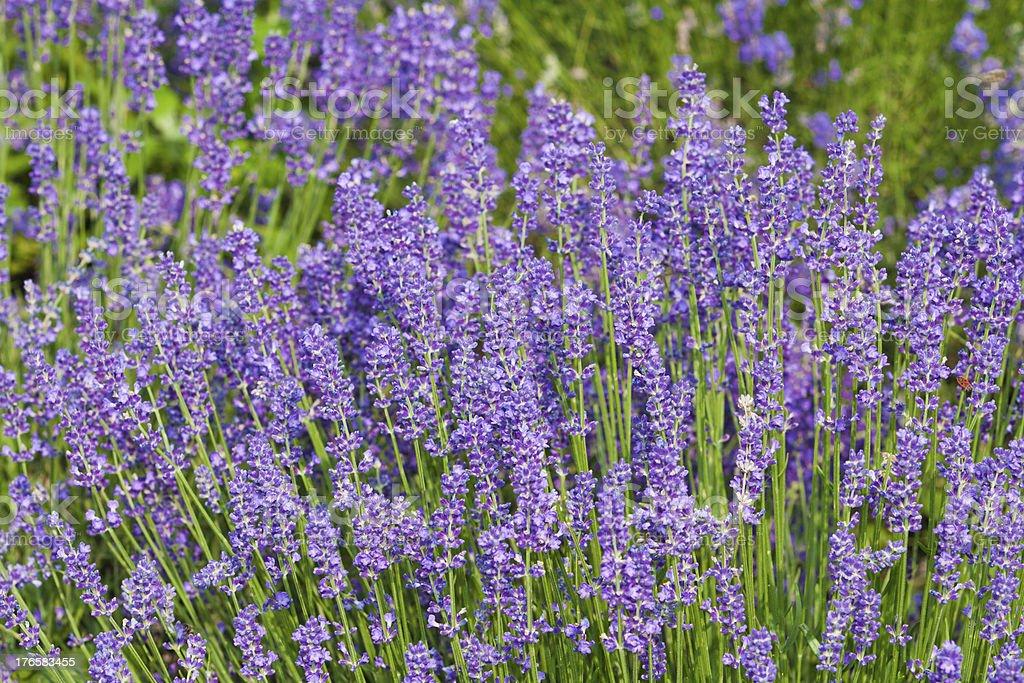 Lavender flowers purple royalty-free stock photo