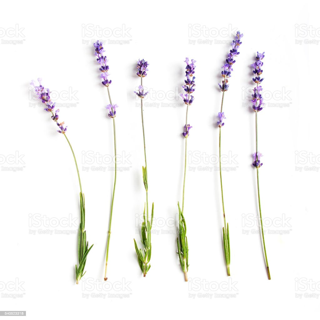 lavender flowers set stock photo