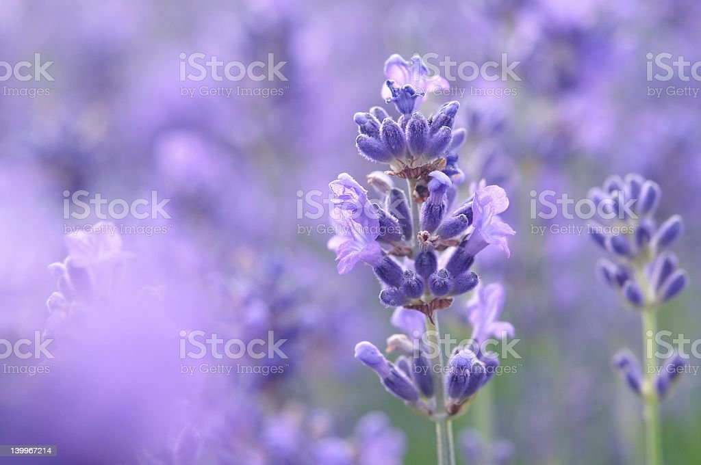 Lavender flowers with green stems royalty-free stock photo