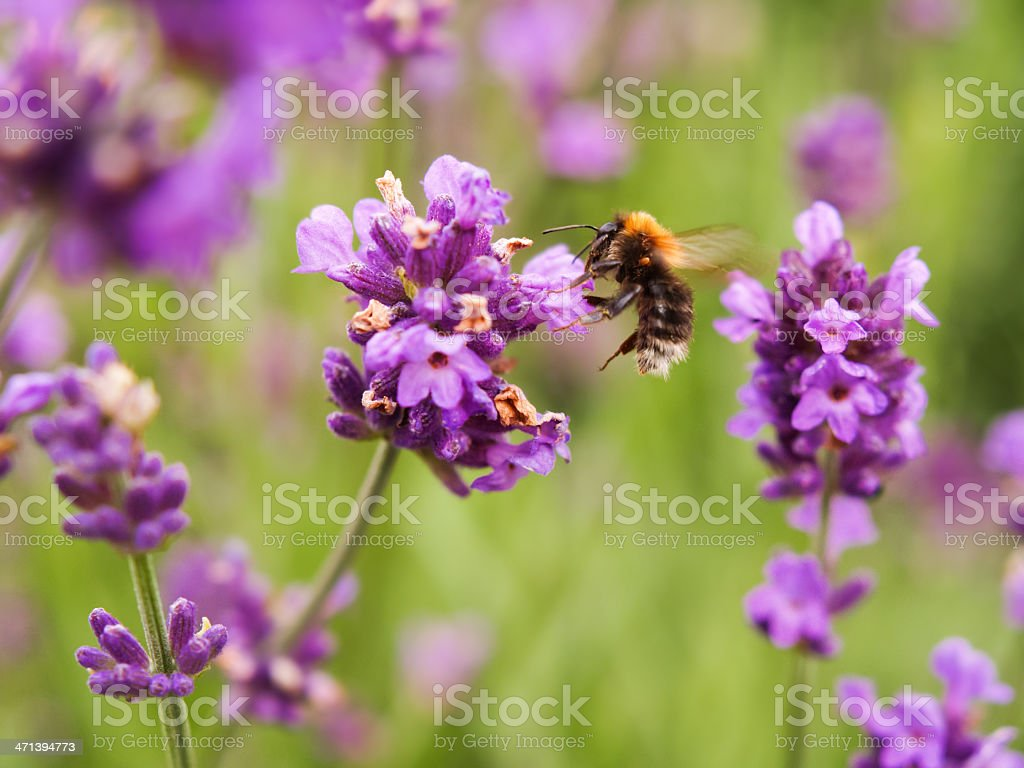 Lavender flowers (lavandula) with Hummel stock photo