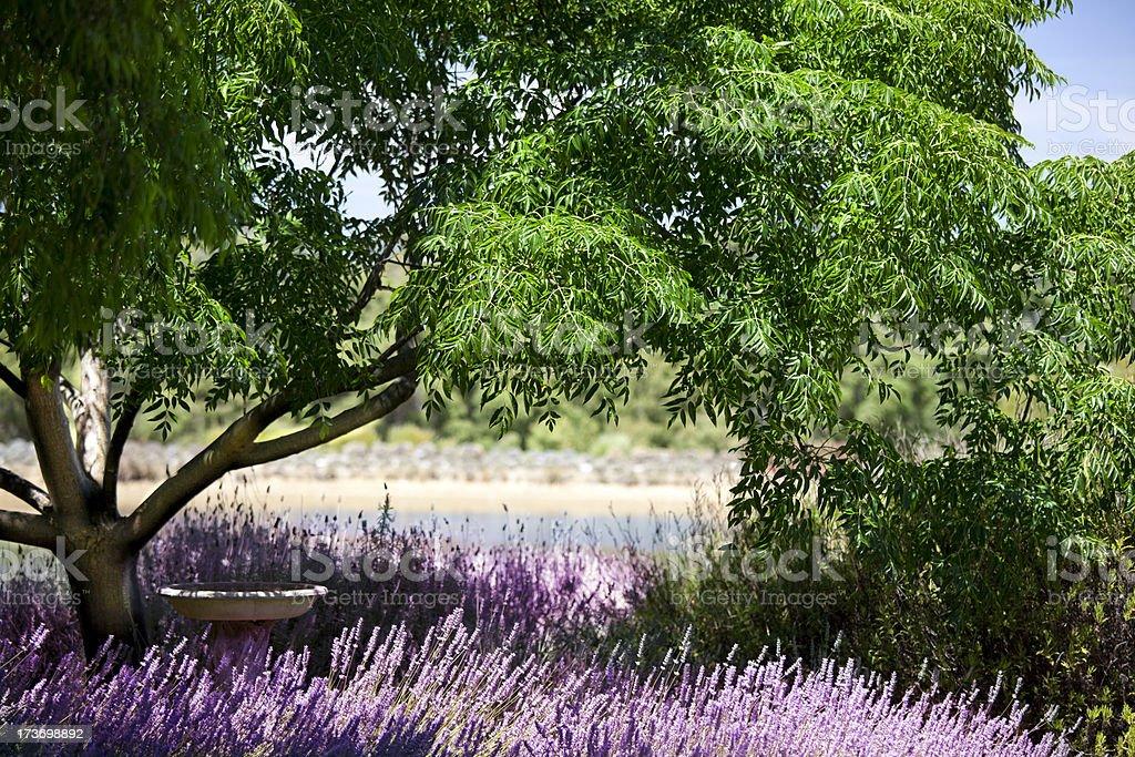 Lavender gardeen royalty-free stock photo