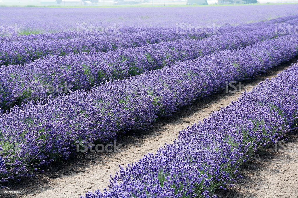 Winning Lavender Garden Stock Photo   Istock With Magnificent Lavender Garden Royaltyfree Stock Photo With Alluring Contemporary Garden Borders Also Shed For Garden In Addition Gardening Equipment For Sale And Garden Privacy Screens As Well As How To Build A School Garden Additionally Mosaic In Garden From Istockphotocom With   Magnificent Lavender Garden Stock Photo   Istock With Alluring Lavender Garden Royaltyfree Stock Photo And Winning Contemporary Garden Borders Also Shed For Garden In Addition Gardening Equipment For Sale From Istockphotocom