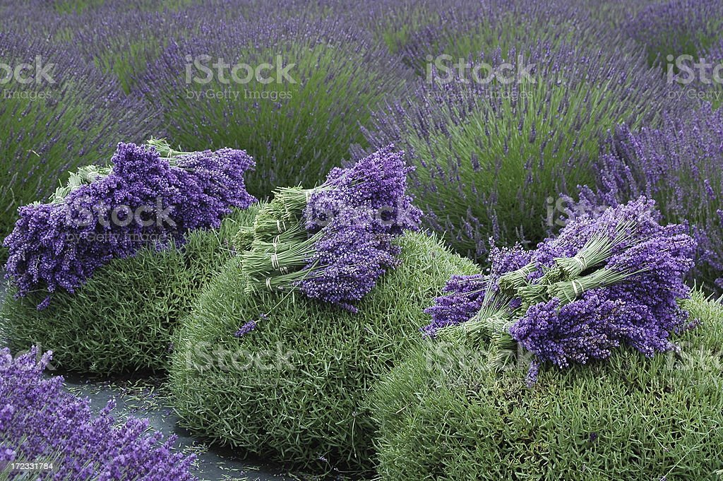 Lavender Harvest royalty-free stock photo