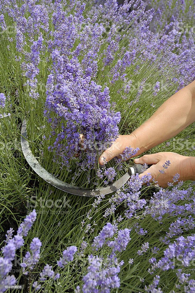Lavender harvesting royalty-free stock photo