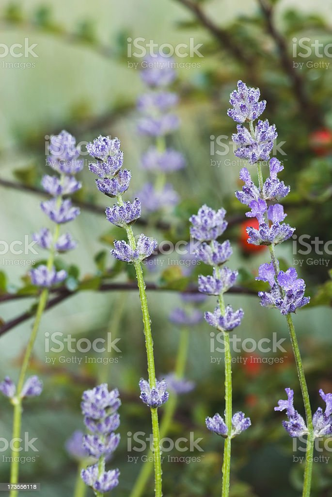 Lavender herb - II royalty-free stock photo