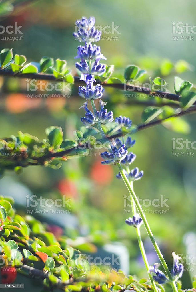 Lavender herb - IV royalty-free stock photo