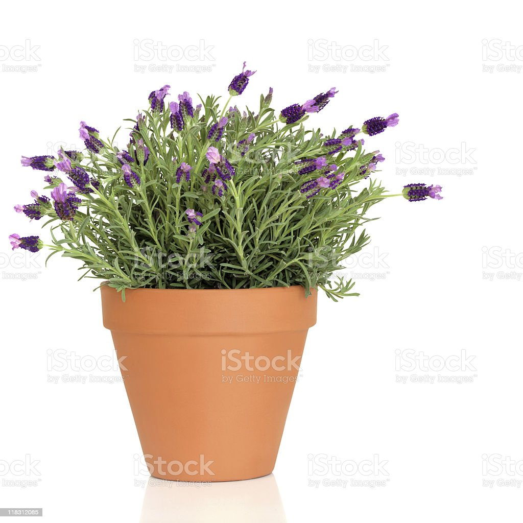 Lavender Herb Plant stock photo