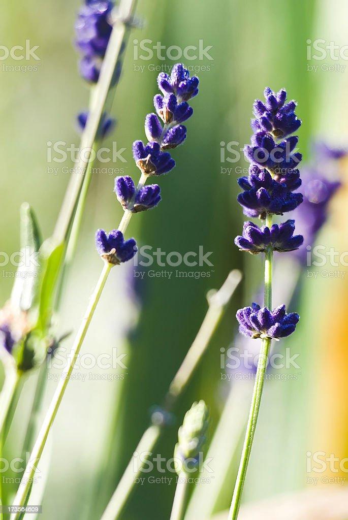 Lavender herb - XVI royalty-free stock photo