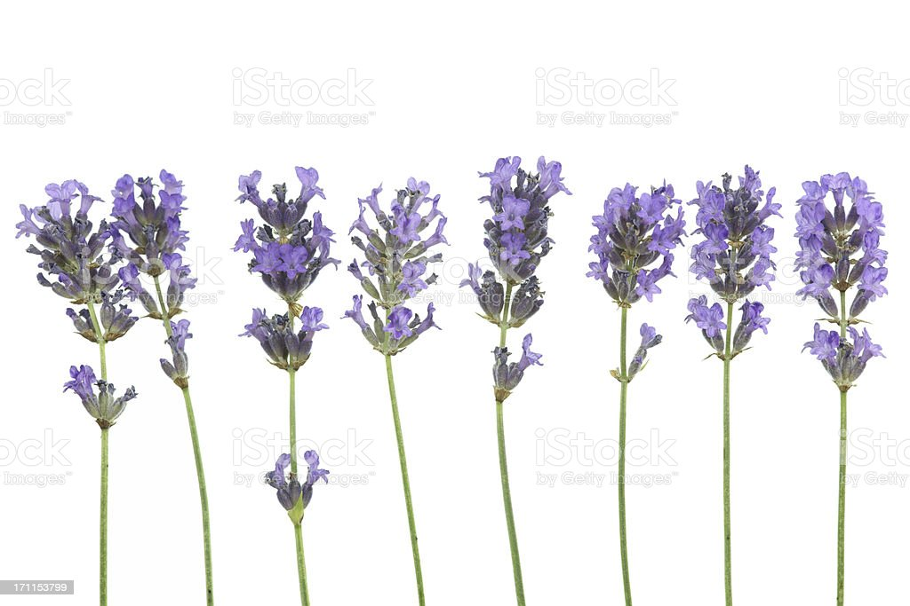 lavender (lavandula angustifolia) in a row isolated on white stock photo