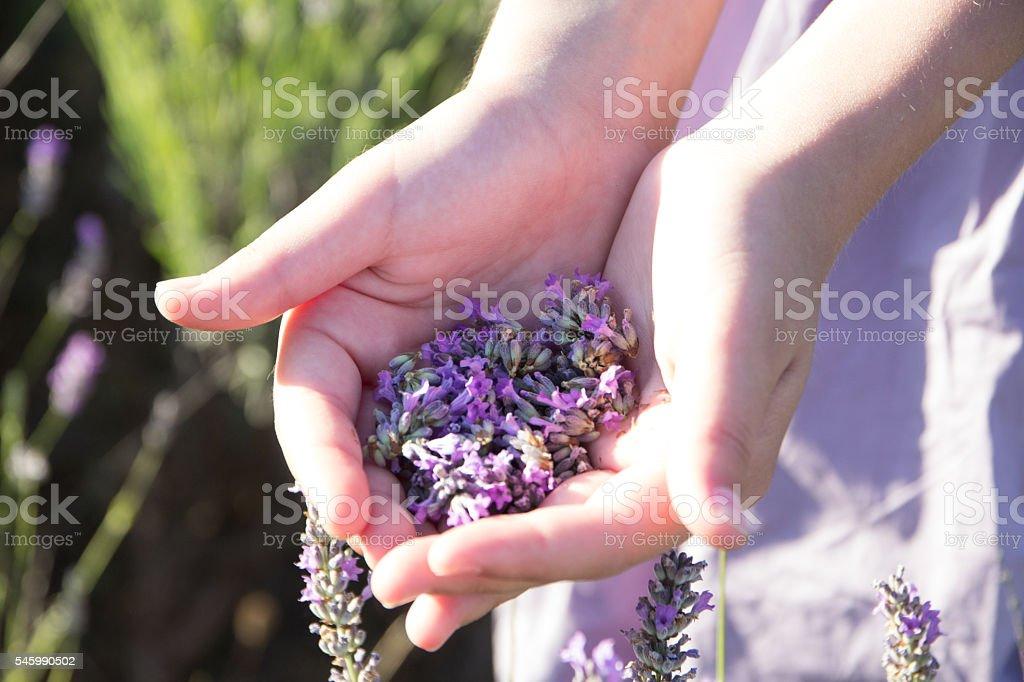 lavender in female hands stock photo