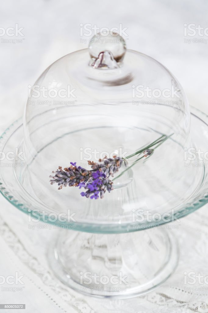 Lavender in glass tray on white background stock photo