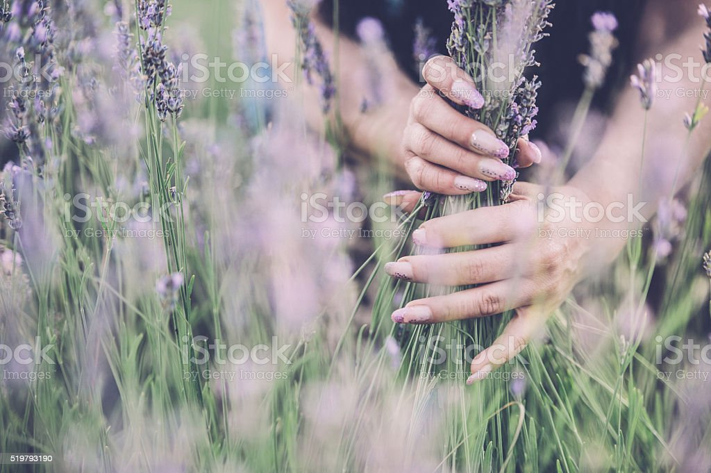 Lavender in hands stock photo