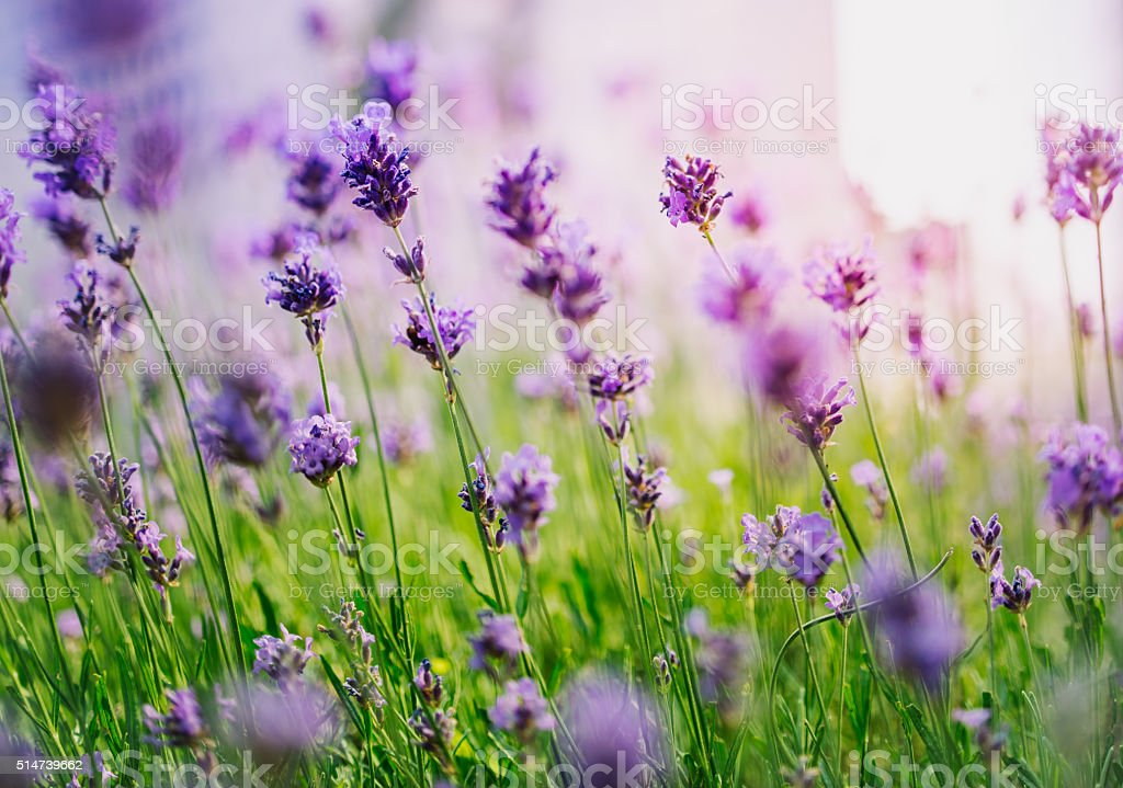 Lavender in meadow during sunrise stock photo