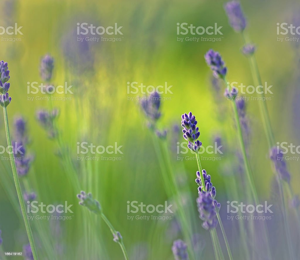 Lavender in my garden royalty-free stock photo