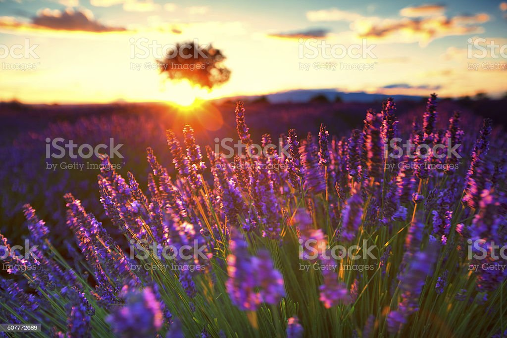 Lavender in Provence at sunset stock photo