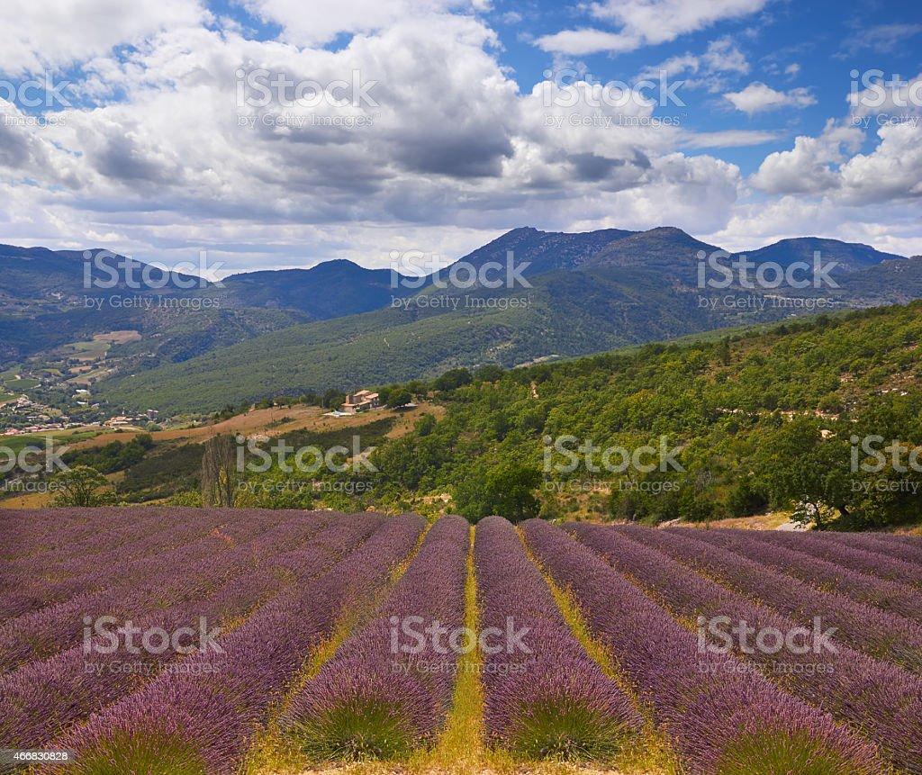 Lavender in Provence stock photo