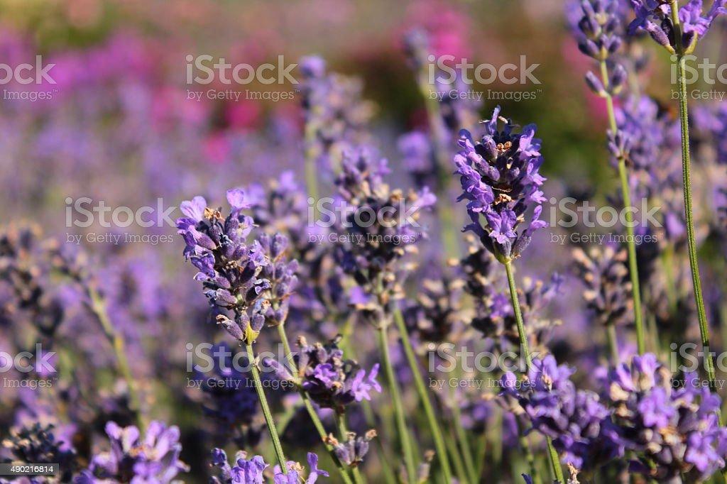 lavender in the garden stock photo