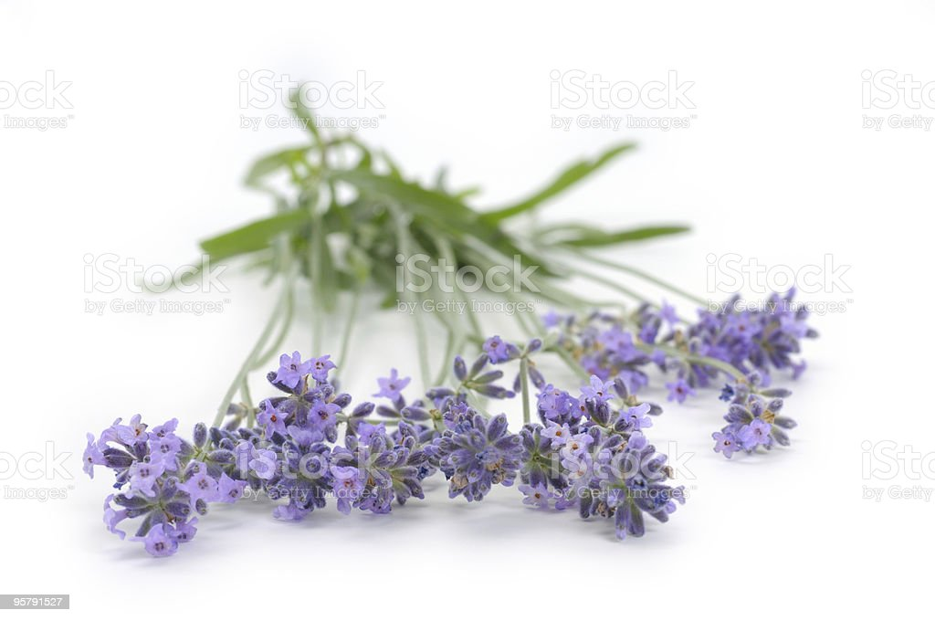 Lavender isolated on white royalty-free stock photo