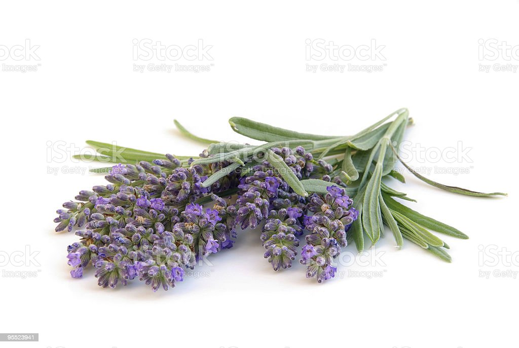 lavender isolated stock photo