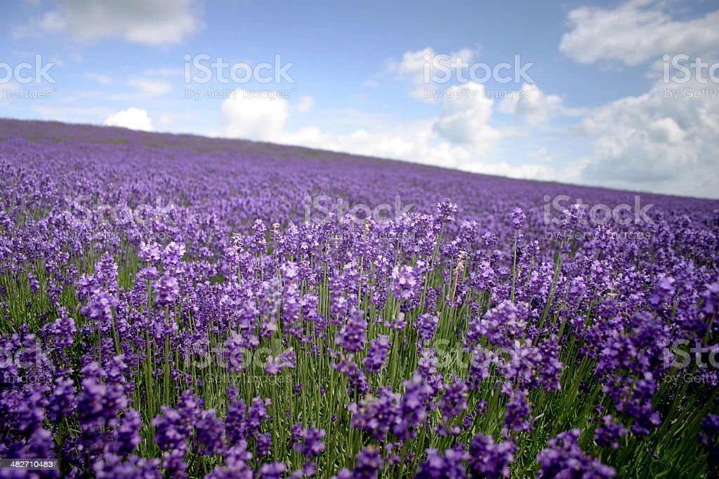 Lavender land royalty-free stock photo