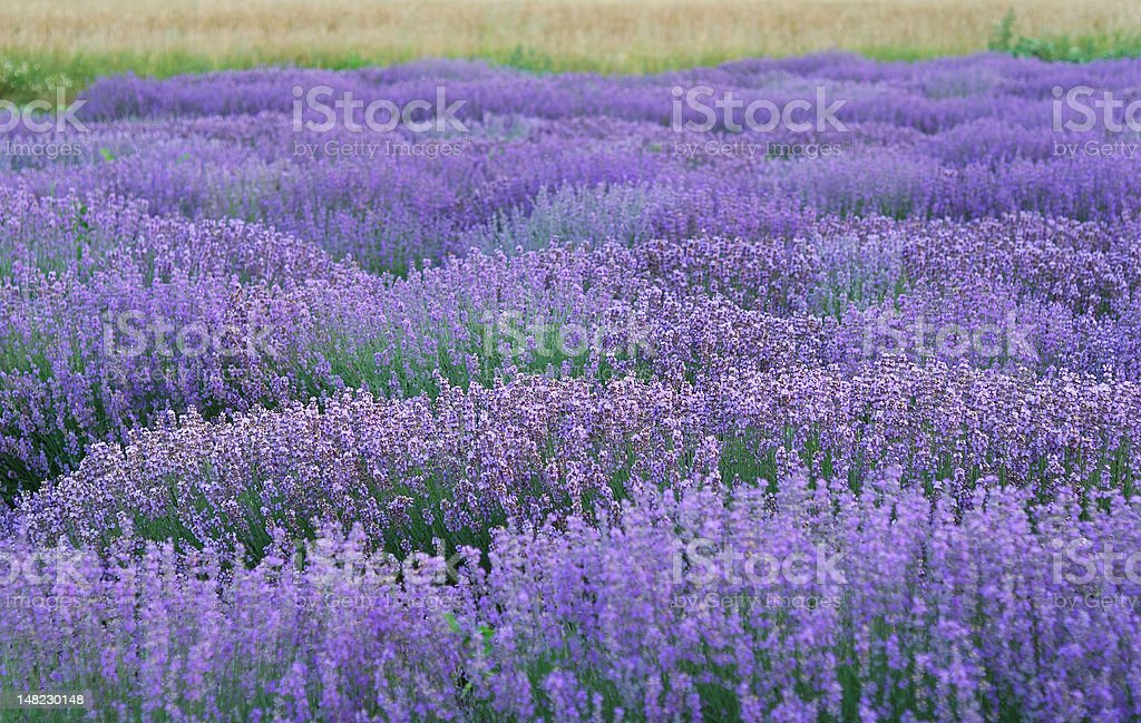 Lavender lines royalty-free stock photo