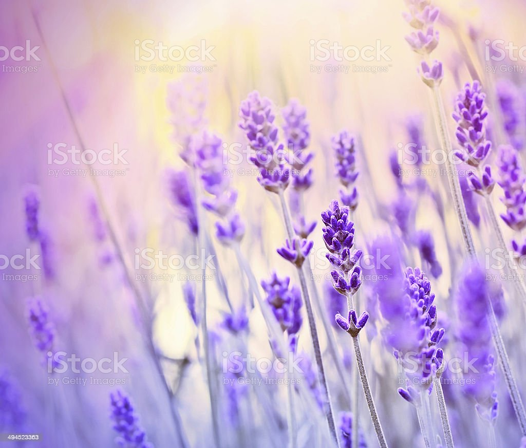 Lavender lit by sun rays stock photo
