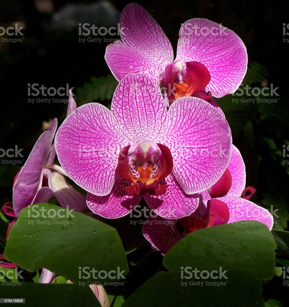 lavender moth orchids stock photo
