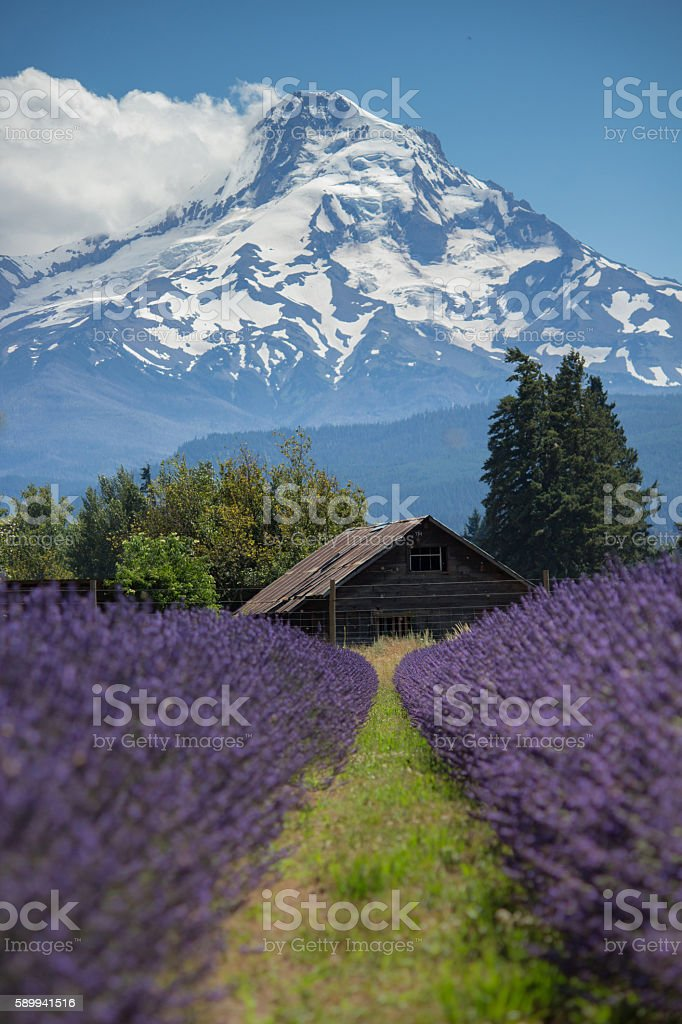 Lavender Mountain stock photo