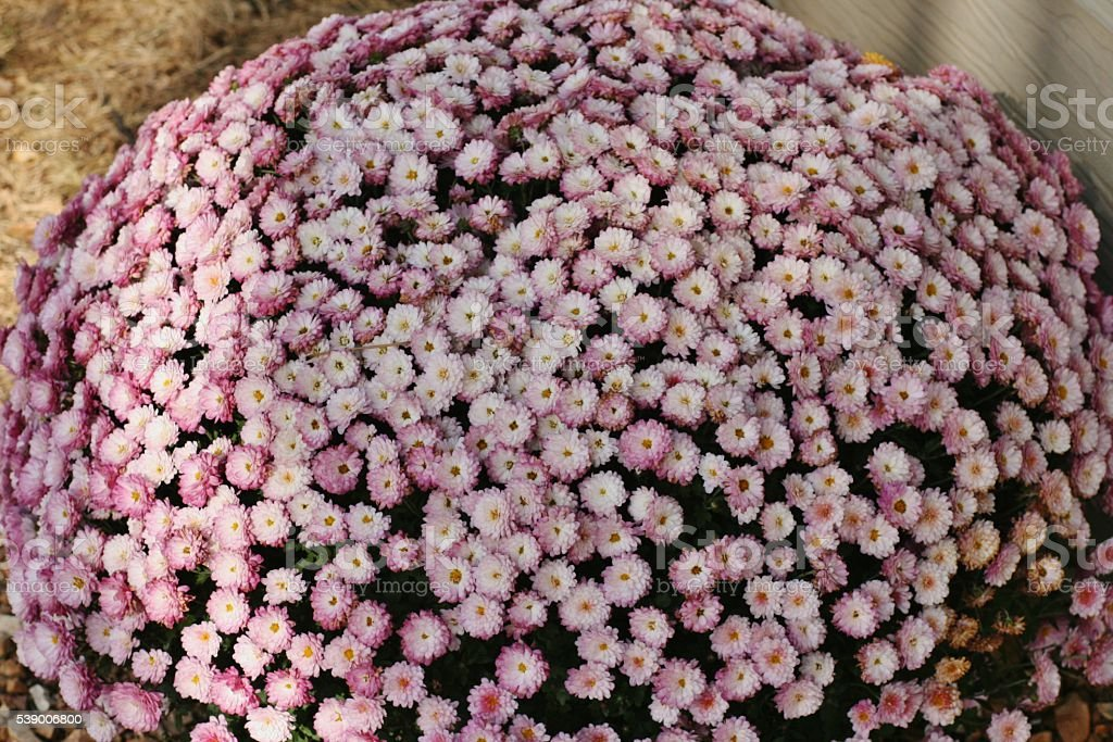 Lavender Mums stock photo