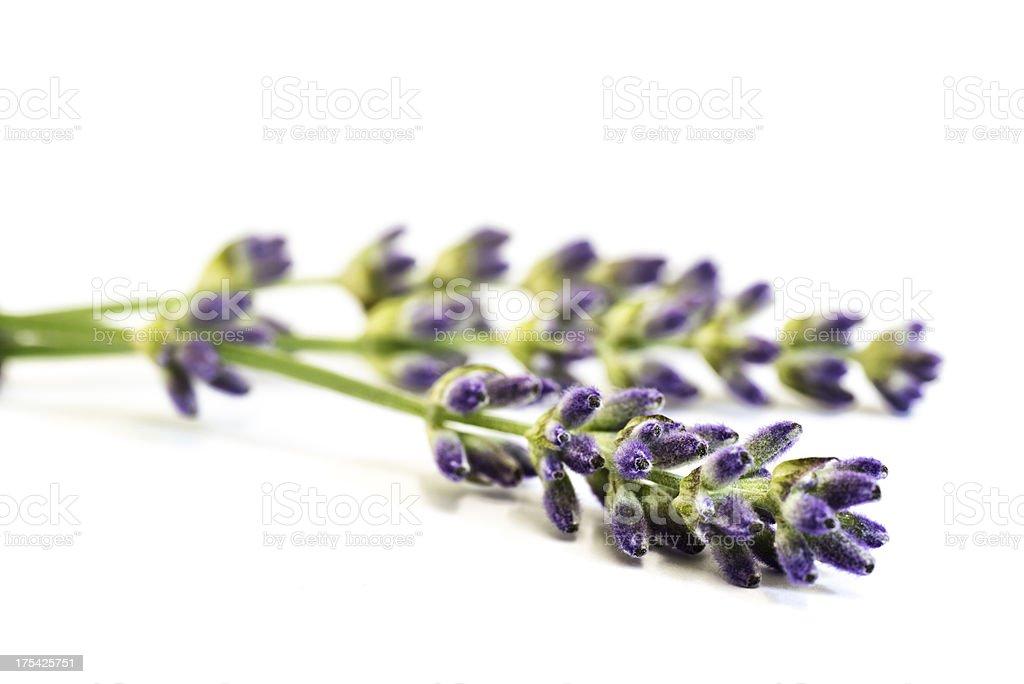 Lavender on white background royalty-free stock photo