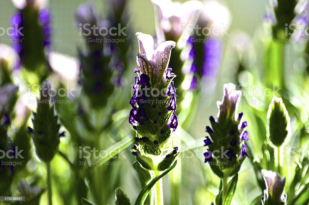 Lavender on Windowsill royalty-free stock photo