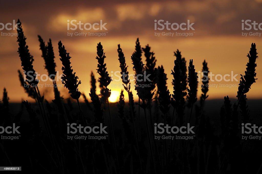 lavender stock photo