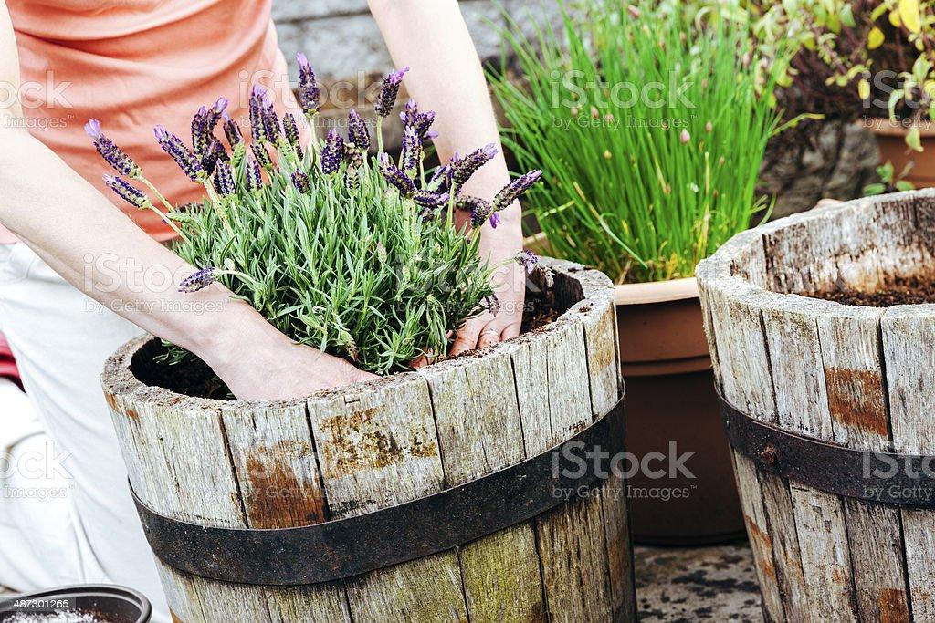 Lavender planting stock photo