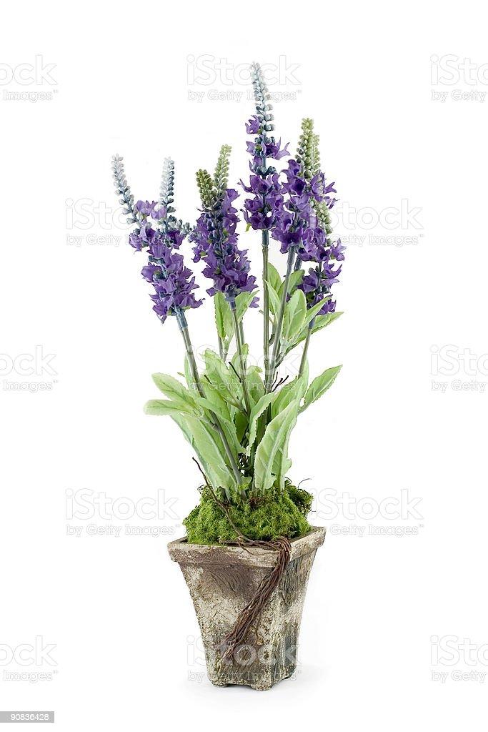 Lavender Pot royalty-free stock photo