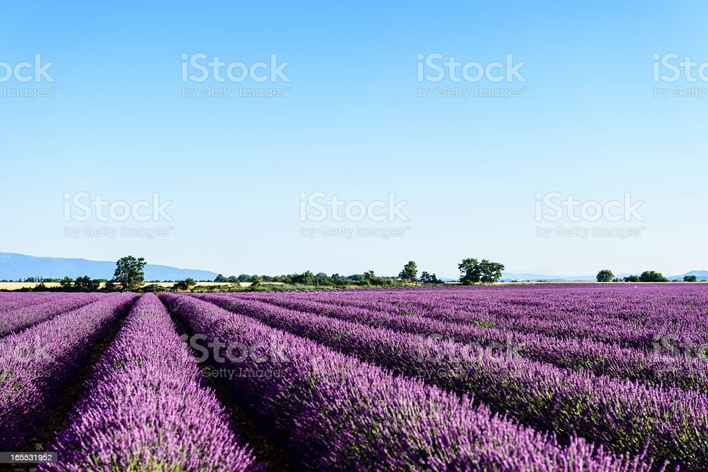 Lavender - Provence, France stock photo
