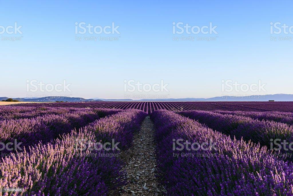Lavender - Provence, France royalty-free stock photo