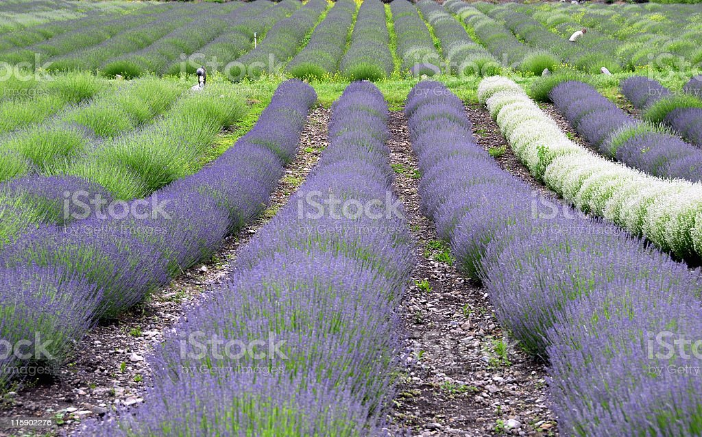 Lavender rows royalty-free stock photo