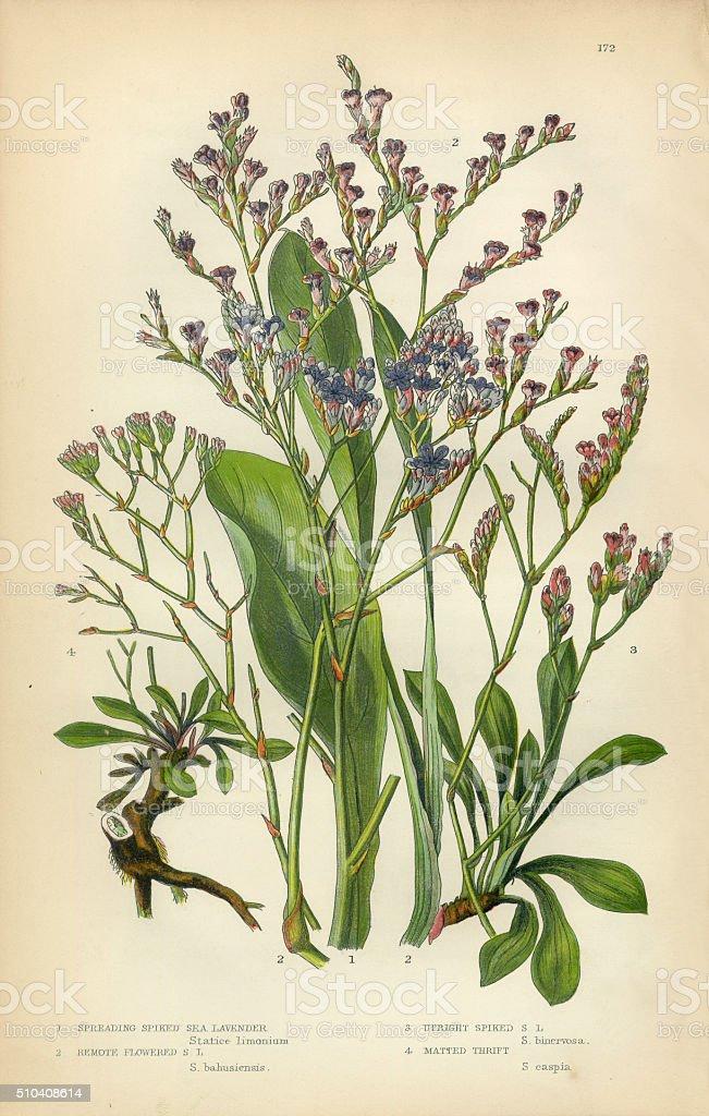 Lavender, Sea Lavender, Lavandula, Mint, Victorian Botanical Illustration stock photo