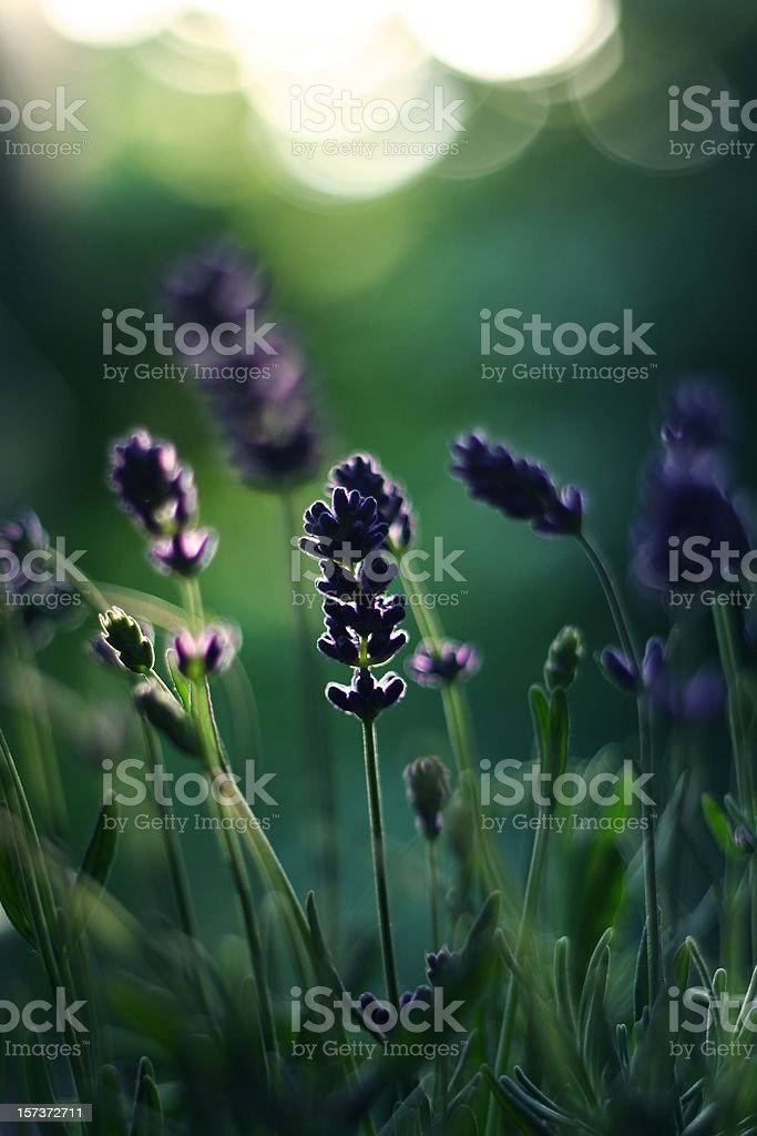 Lavender Silhouette royalty-free stock photo