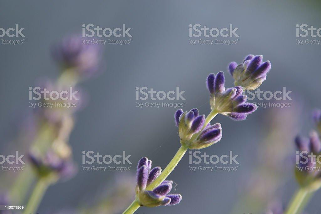 Lavender stem royalty-free stock photo
