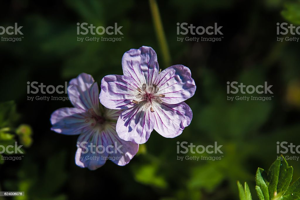 Lavender Sticky Geranium stock photo