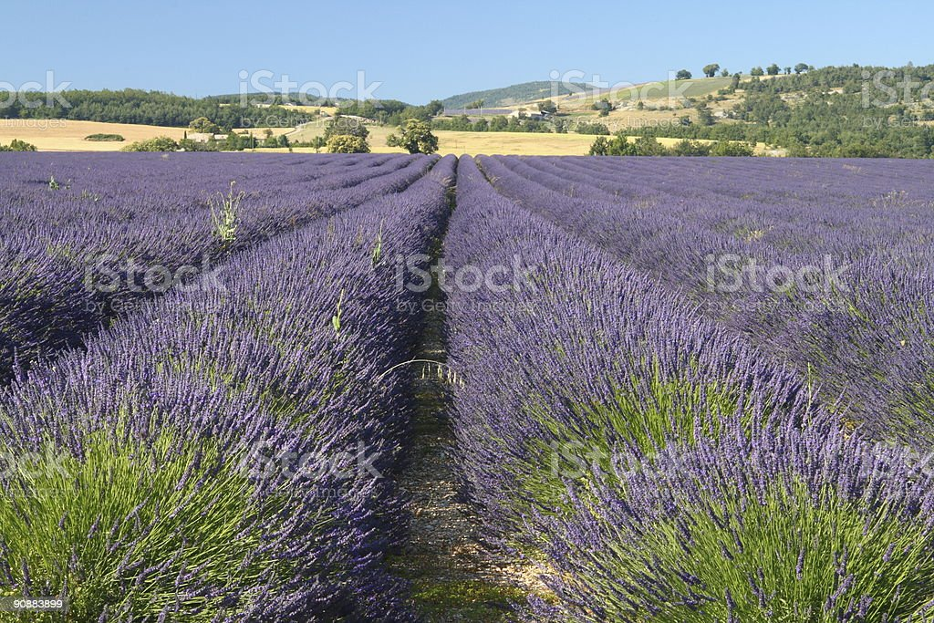 Lavender Time in Summer stock photo