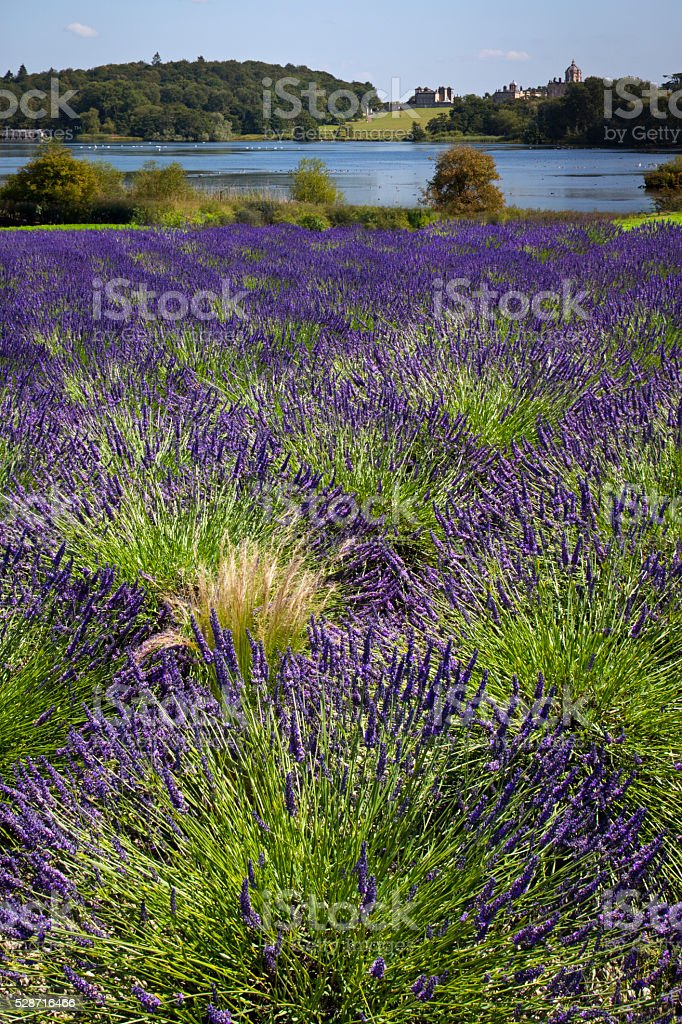 Lavender - United Kingdom stock photo