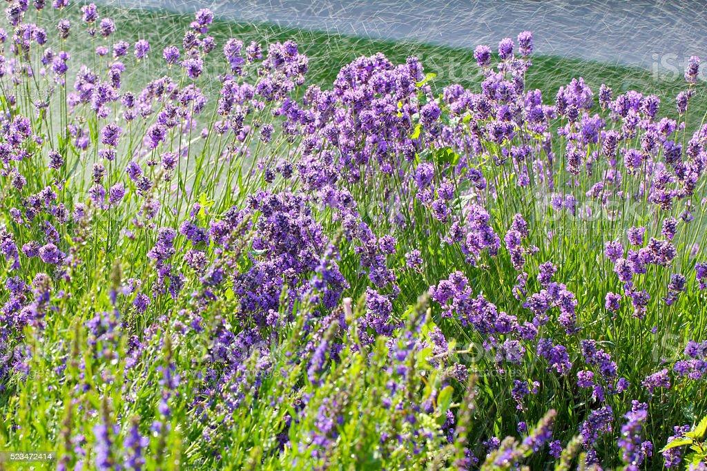 Lavender wet flowers stock photo