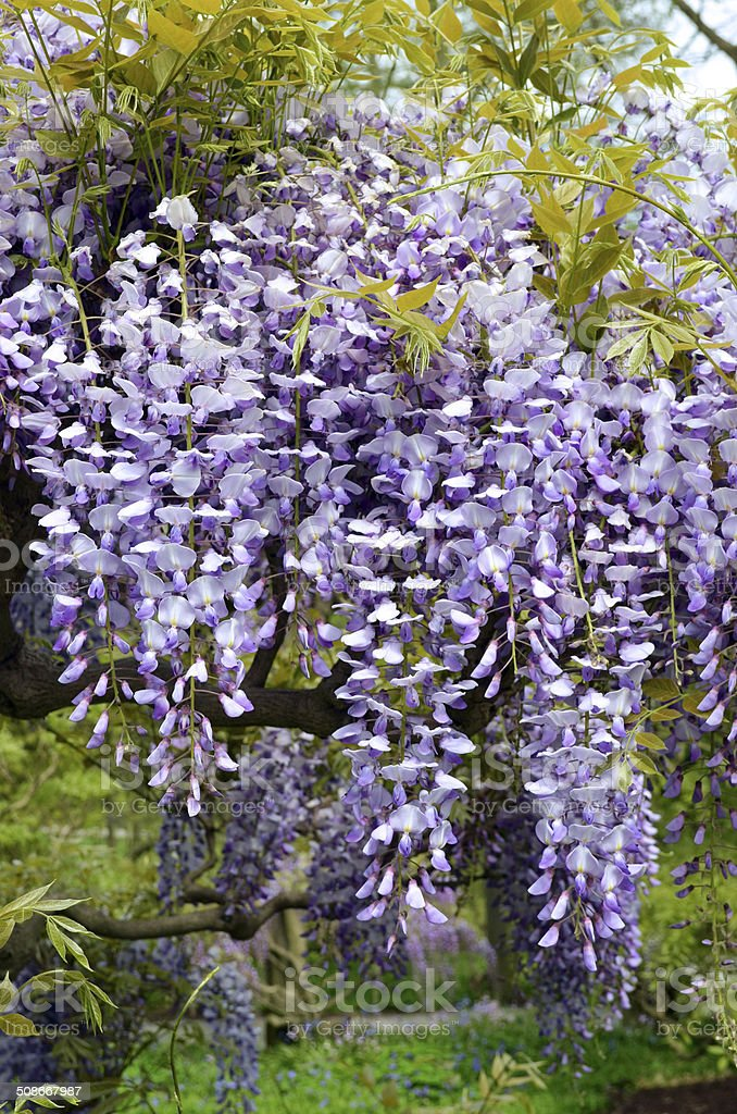 Lavender Wisteria Flower stock photo