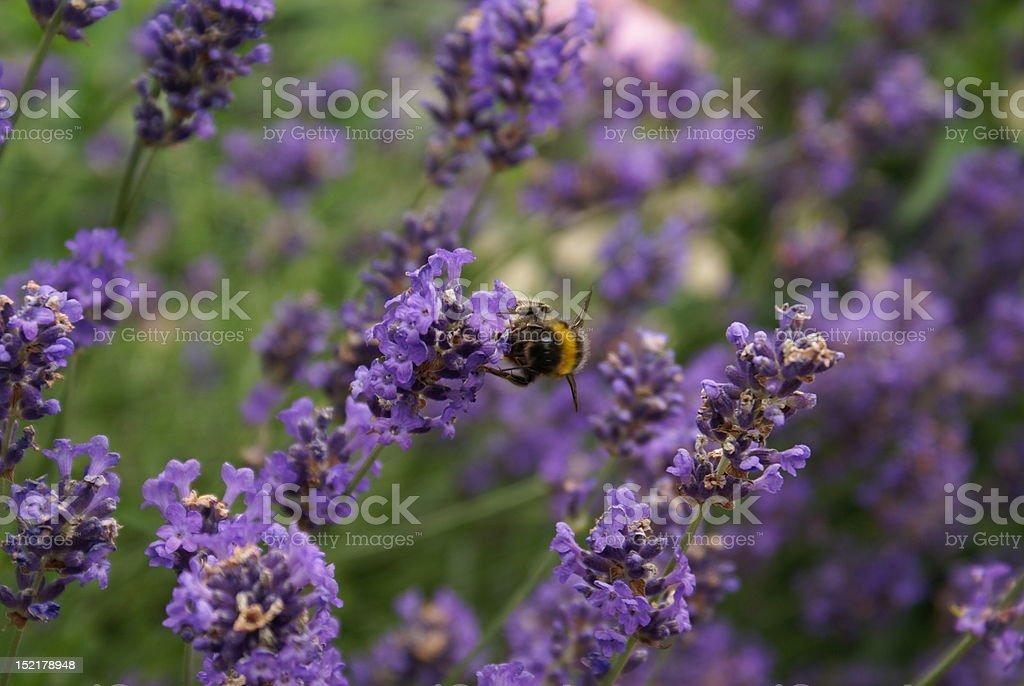 Lawenda z Pszczoła zbiór zdjęć royalty-free